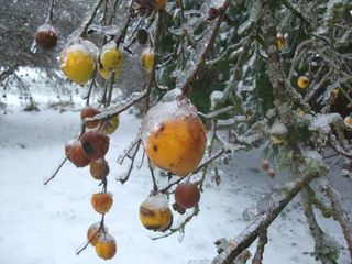 Icy apples